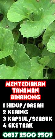 produsen tanaman daun binahong
